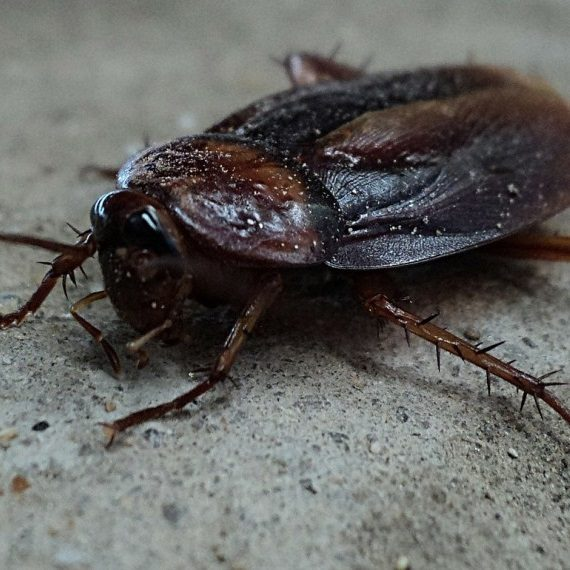 Cockroaches, Pest Control in Bromley, Bickley, Downham, BR1. Call Now! 020 8166 9746