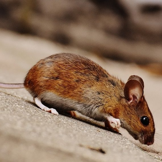 Mice, Pest Control in Bromley, Bickley, Downham, BR1. Call Now! 020 8166 9746