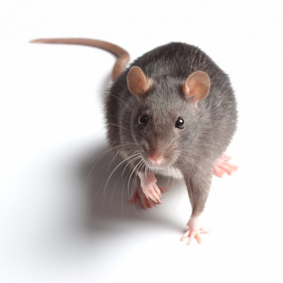 Rats, Pest Control in Bromley, Bickley, Downham, BR1. Call Now! 020 8166 9746